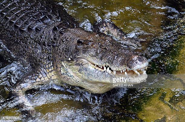 A 700 kilogram saltwater crocodile Rex eats a rabbit at Wildlife Sydney Zoo in Sydney March 3 2014 The event was organised for one of the world's...