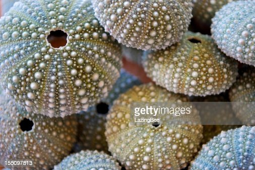 Kina - NZ Sea Urchin (Evechinus Chloroticus)