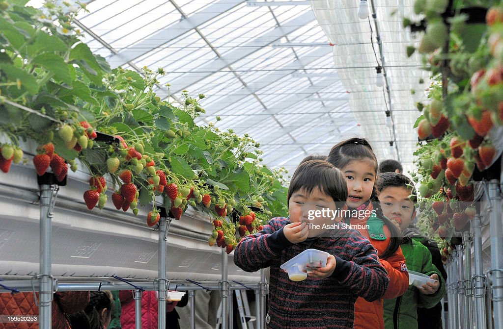 Kindergarten children eat strawberry at greenhouse strawberry farm on January 13, 2013 in Soma, Fukushima, Japan. The farm, destoryed by the tsunami followed by the Great East Japan Earthquake two years ago, opened with the half of its full capacity.