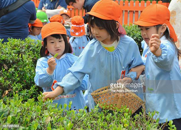 Kindergarten pupils pick fresh green tea leaves on May 2 2014 in Otsu Shiga Japan Traditionally it is thought that people drink tea picked on the...