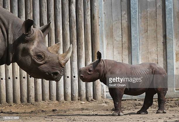 King an Eastern black rhinoceros born August 26 makes his public debut at the Lincoln Park Zoo with his mother Kapuki on September 17 2013 in Chicago...