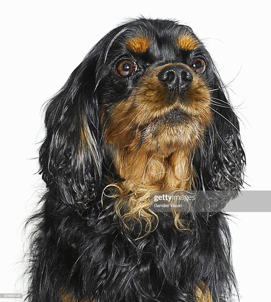 King Charles Cavalier Portrait : Stock Photo