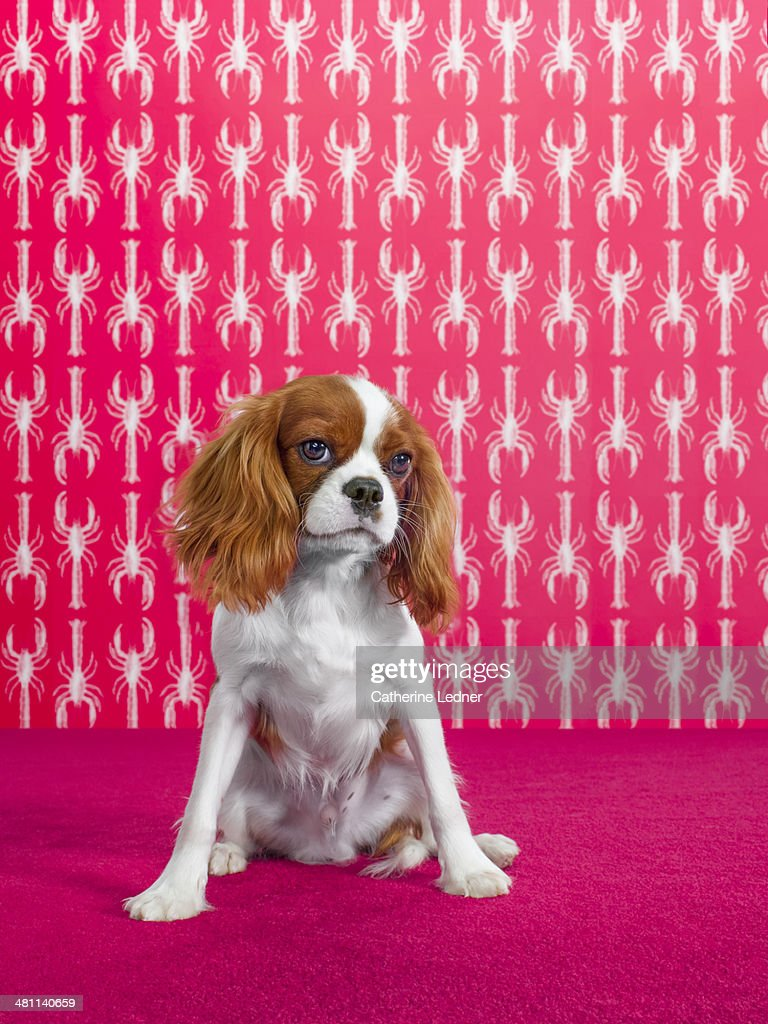 king charles spaniel on carpet and wallpaper stock photo