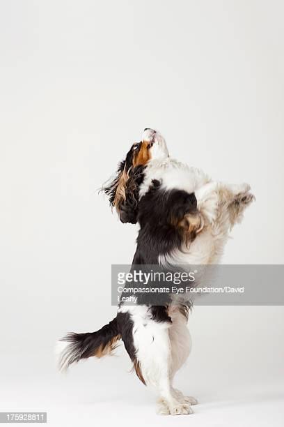 King Charles Terrier standing on hind legs