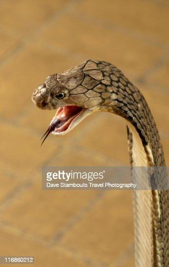 キングコブラの画像 p1_6