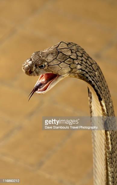 キングコブラの画像 p1_20