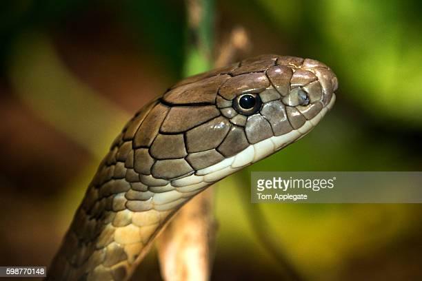 キングコブラの画像 p1_28