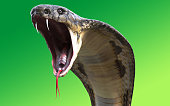 Close-Up Of 3d King cobra snake attack isolated on green background
