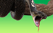 King Cobra snake on tree branch, isolated on green background