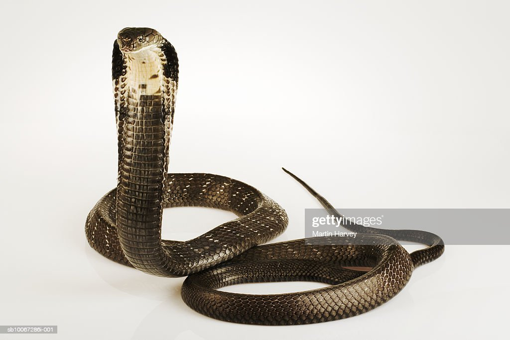 King Cobra (Ophiophagus hannah), studio shot : Stock Photo