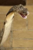 CONTENT] King Cobra the world's longest venomous snake