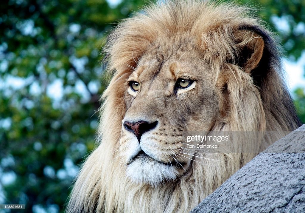 King of beasts : Stock Photo