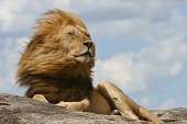 A noble lion resting on a kopje in the Serengeti while winds blow through his mighty mane.