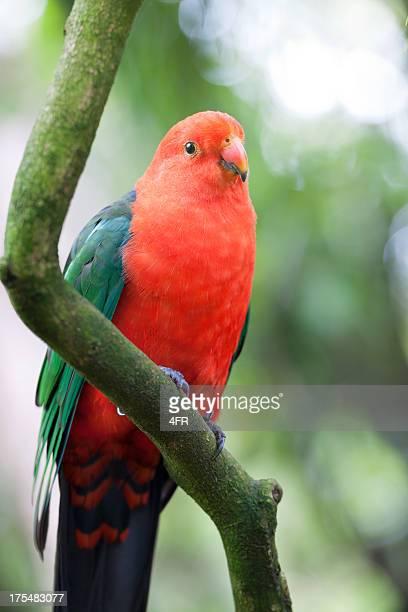 King Parrot in Wildlife (XXXL)