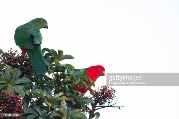 King Parrot - Mating Pair