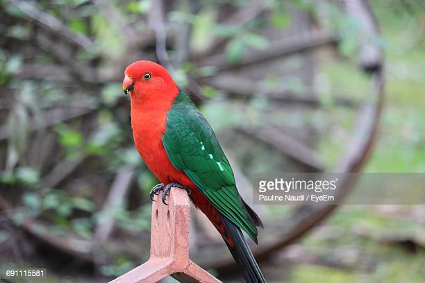 King Parrot Perching On Wood