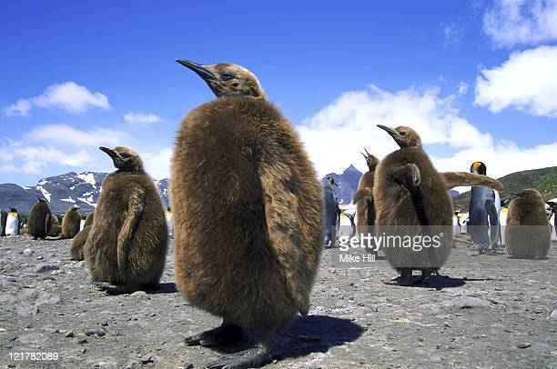 king penguin, aptenodytes patagonicus, young, south georgia