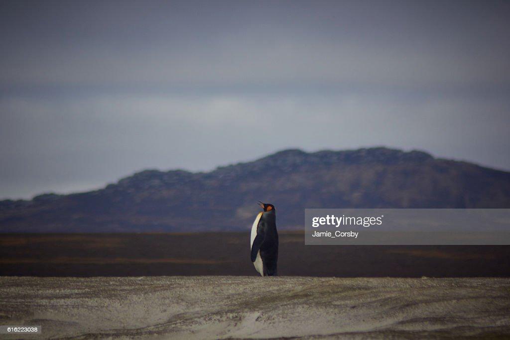 King Penguin at volunteer point : Foto stock