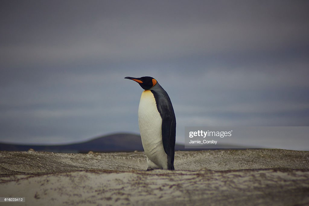 King Penguin at volunteer point : Stockfoto