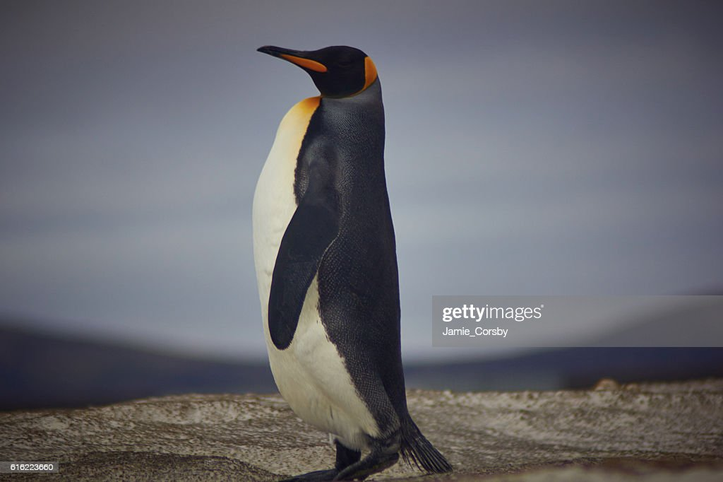 King Penguin at volunteer point : Stock-Foto