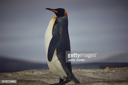 King Penguin at volunteer point : Stock-Foto