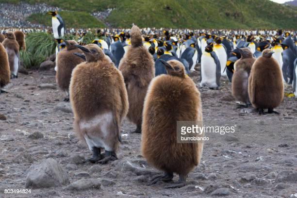 Ein König Pinguin Küken steht unter anderem auf South Georgia Island