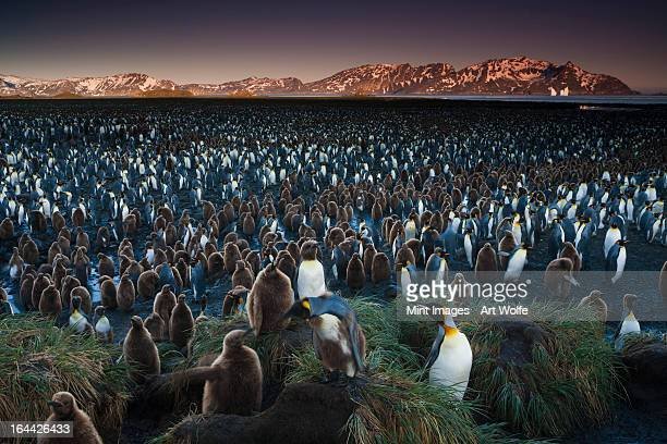 A king penguin colony, a huge group of birds crowded on South Georgia Island in the Falkland islands.