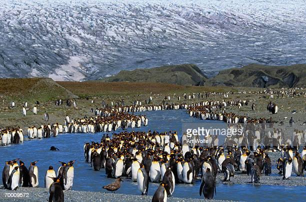 King penguin (Aptenodytes patagonicus) colony along waterway