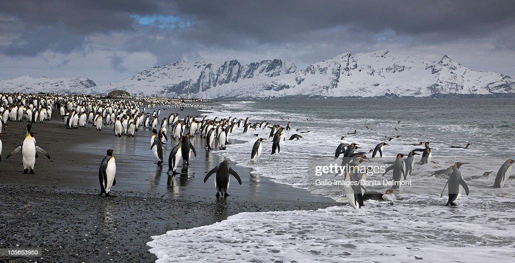 King Penguin (Aptenodytes patagonicus) colony at coast, South Georgia Island : Stock Photo