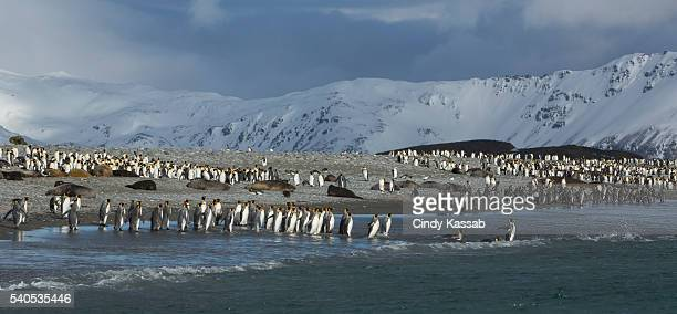 King Penguin Colony at Salisbury Plain on South Georgia Island