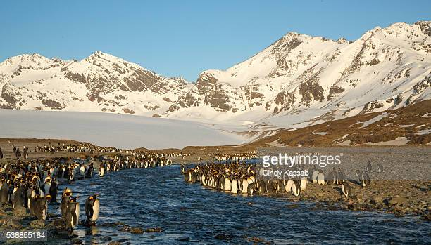 King Penguin Colony at St Andrews Bay
