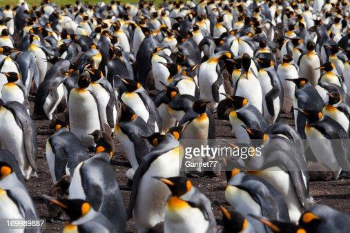 キングペンギンコロニー、フォークランド諸島