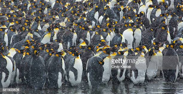 King Penguin Colony in the Snow at Gold Harbor on South Georgia Island