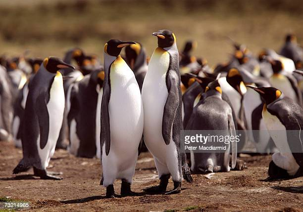 King penguin colony nests on February 5 2007 at Volunteer Point Falkland Islands