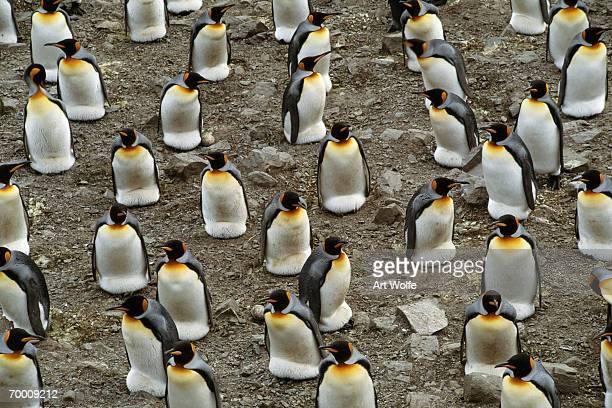King penguin (Aptenodytes patagonicus) colony