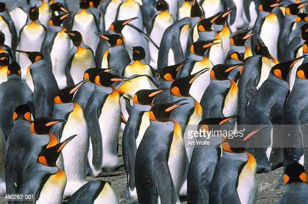 King penguin colony (Aptenodytes patagonicus), South Georgia