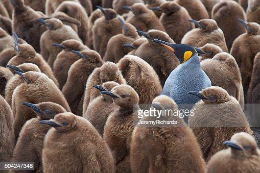 Pinguim-de-Schlegel Creche : Foto de stock