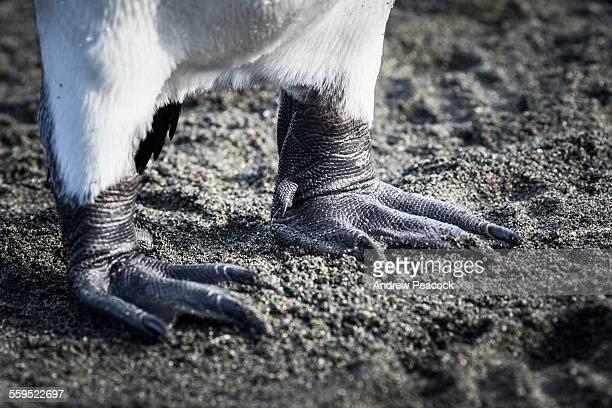 King Penguin feet, Gold Harbour