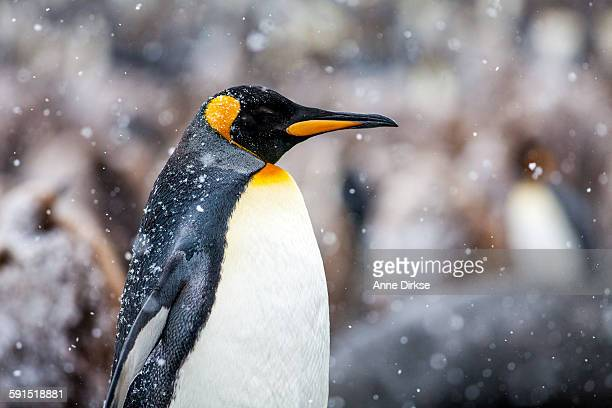 King Penguin in Profile