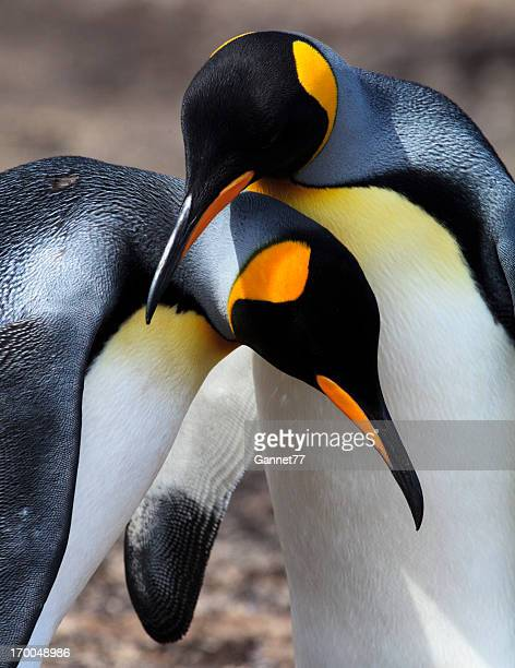 King Penguin Pair, Falkland Islands