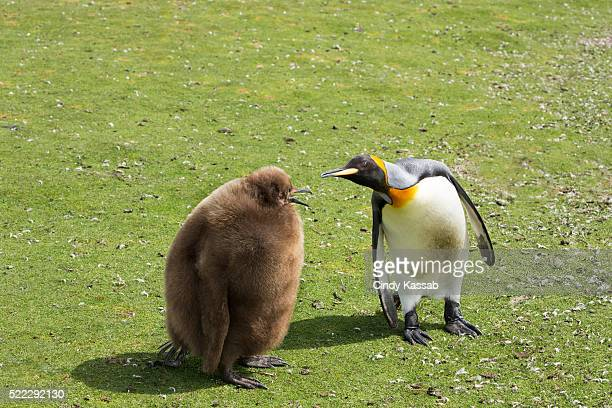 King Penguin Parent with Chick in a Field at Volunteer Point in the Falkland Islands