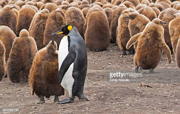 A King Penguin Parent with its Chick Begging for Food
