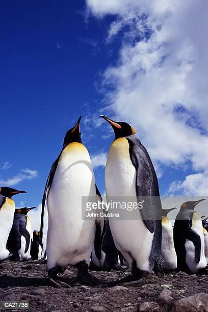 King penguin (Aptenodytes patagonicus)