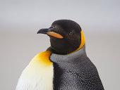 King Penguin portrait.