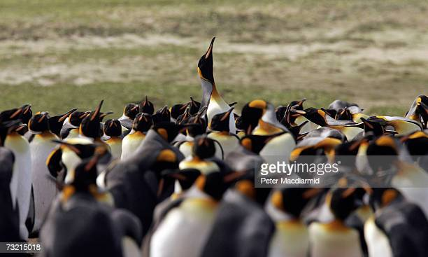 King penguin raises it's head in a mating call on February 5 2007 at Volunteer Point Falkland Islands