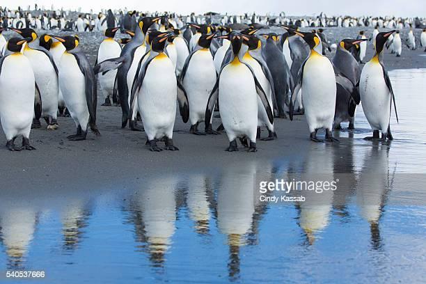King Penguin Reflections at Salisbury Plain on South Georgia