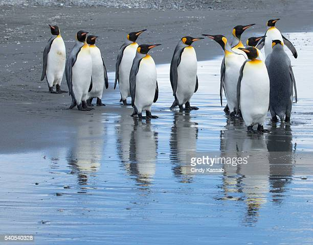 King Penguin Reflections at Salisbury Plain on South Georgia