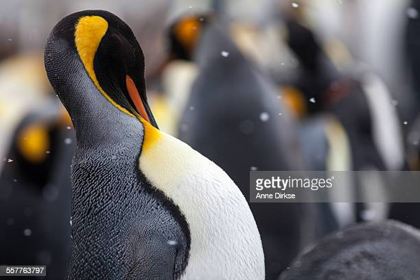 King penguin, sleeping
