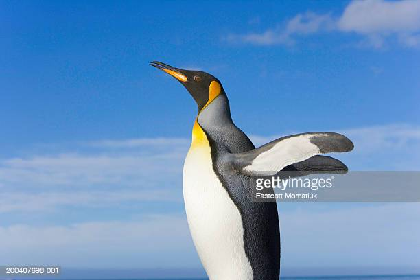 King penguin (Aptenodytes patagonicus) standing on beach, side view