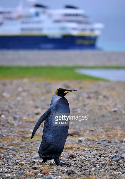 King penguin stands on coast line on February 25 2010 at Fortuna Bay a subAntarctic island of South Georgia about 860 miles off the Falklands Black...